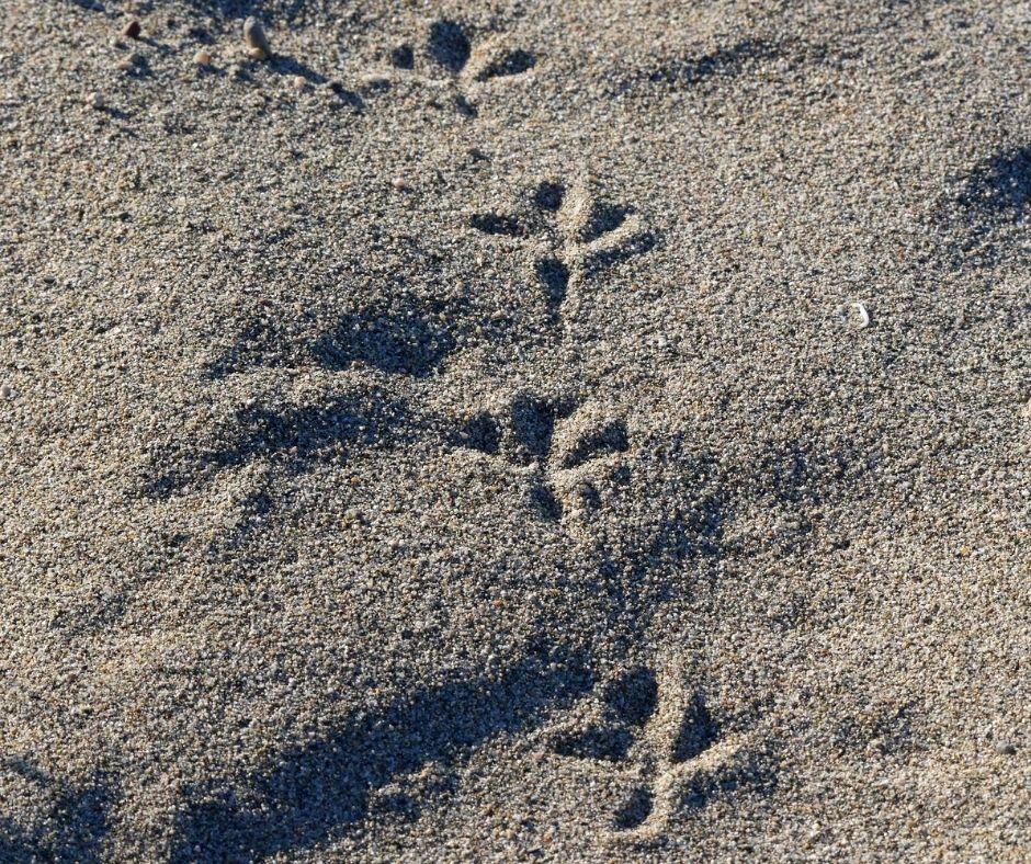 empreintes d'oiseau sur le sable